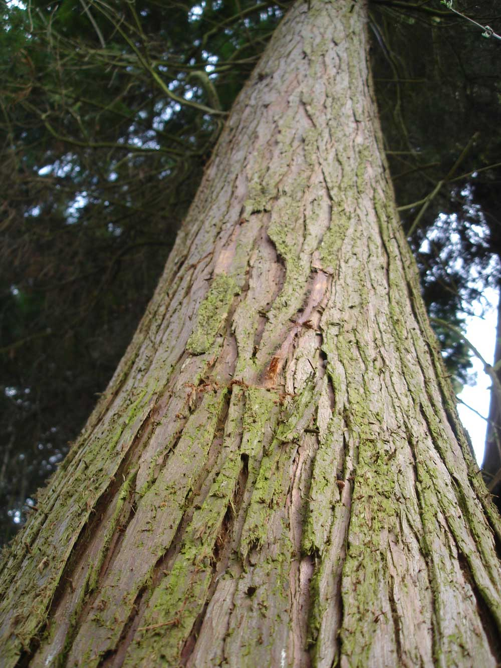 Western Red Cedar Tree ~ Locally sourced western red cedar for national hives