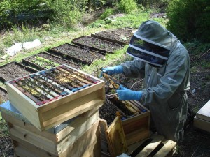 Fera Bee Inspector Tim Roper Inspecting Peak Hives Apiary